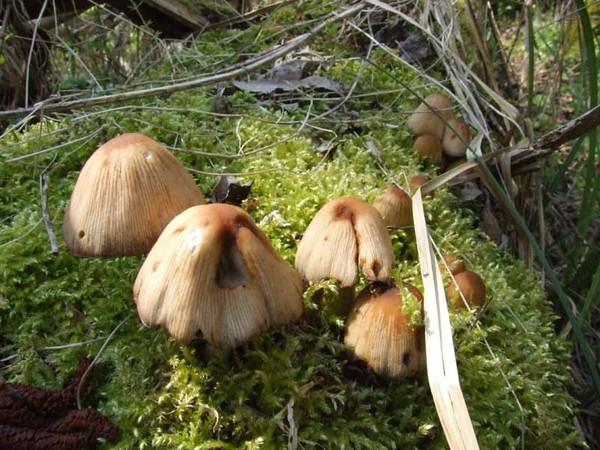 Les champignons  - Page 2 5d090dd2