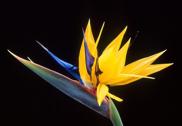 oiseaux du paradis fleur